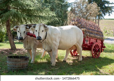 Recreation of a traditional Florentine wagon full of Chianti wine flasks, pulled by a pair of Chianina breed oxen.
