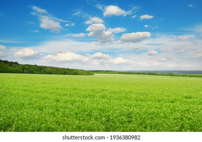Rectangular landscape with green pea field and blue sky.
