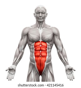 Abdominal anatomy images stock photos vectors shutterstock rectus abdominis anatomy abs muscles isolated on white 3d illustration ccuart Image collections