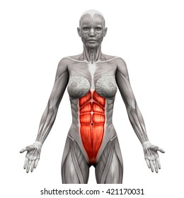 Rectus Abdominis - Anatomy Muscles isolated on white - 3D illustration