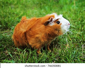 Red Abyssinian Guinea Pig on green grass.