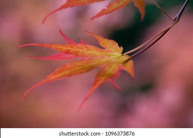Red Acer leaves, close up with shallow depth of field