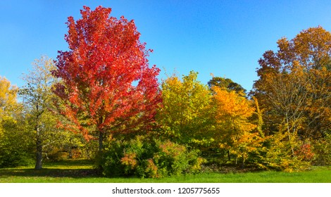 Red Acer Rubrum Autumn Blaze and yellow green European Hornbean on the fall colors. Botanical names on this trees are Sapindaceae Axer freemanii and Betulaceae Carpinus Betulus