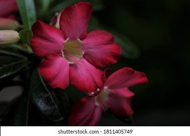 Red Adenium Flower. Adenium obesum is grown as a houseplant in temperate regions.  Adeniums are appreciated for their colorful flowers, but also for their unusual, thick caudices.
