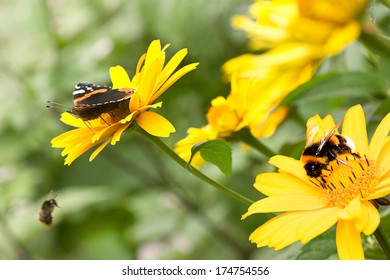 Red admiral butterfly and bumble bees on false sunflowers or Heliopsis helianthoides in the garden in summer - horizontal