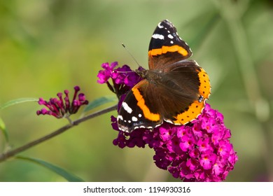 Red Admiral Butterfly collecting nectar from a purple Butterfly Bush flower. Rosetta McClain Gardens, Toronto, Ontario, Canada.