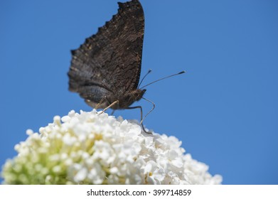 Red Admiral butterfly drinking from a white butterfly-bush against a clear blue sky