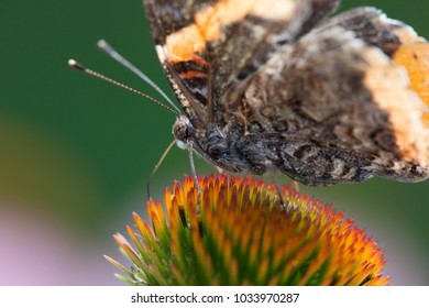Red Admiral Butterfly family nymphaldae
