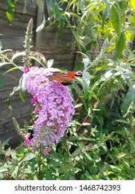 Red admiral butterfly feeding on a lilac buddleia in the sunshine