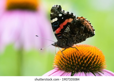 A Red Admiral Butterfly feeding from a Purple Coneflower wildflower.