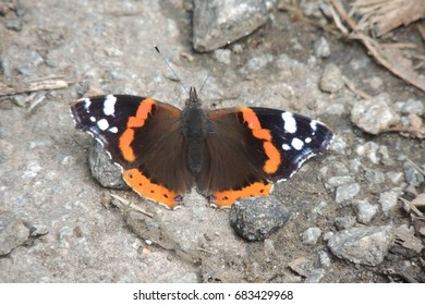 A red admiral butterfly on a path in woods in Looe in Cornwalll