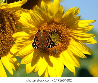 A red admiral butterfly on a sunflower.