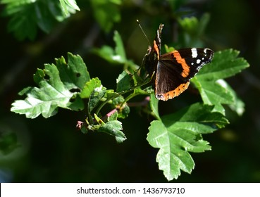 Red Admiral Butterfly on tree leaf next to main road