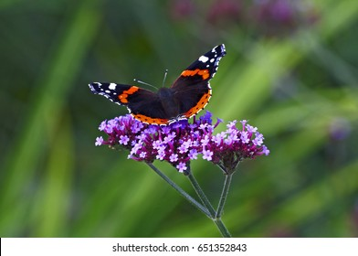 Red Admiral butterfly on a Verbena bonariensis