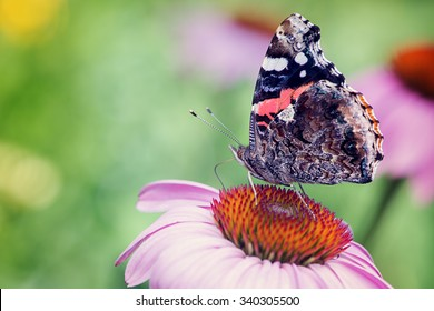 Red admiral butterfly perched on a purple coneflower