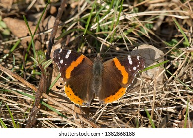 Red Admiral Butterfly resting on the ground basking in the late afternoon sun. Colonel Samuel Smith Park, Toronto, Ontario, Canada.