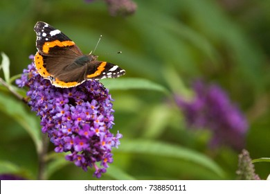 A red admiral butterfly resting on a buddleia flower with green vegetation in the background