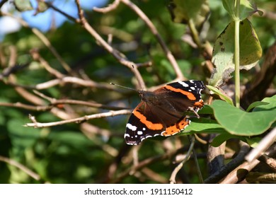 Red Admiral butterfly resting in sunshine in garden