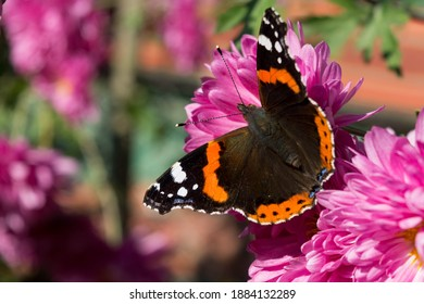 red admiral butterfly sitting on a pink flower, close-up