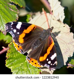 Red Admiral butterfly (Vanessa atalanta), basking in the Sun, Cornwall, England, UK.