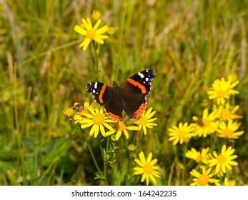 Red Admiral Butterfly (Vanessa atalanta) on a meadow