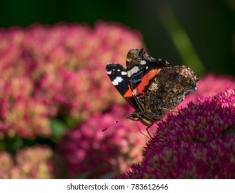 Red Admiral on Ice Plant