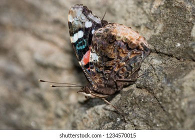 A Red Admiral perching on a rockface