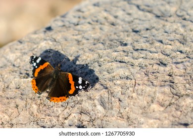 Red admiral, Vanessa atalanta, Red admirable on a stone. colourful batterfly in the stone. copy space.  beauty concept
