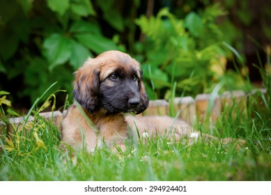 red afghan hound puppy lying down on grass