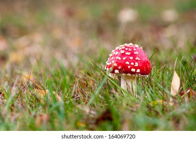 Red agaric mushroom growing in the grass
