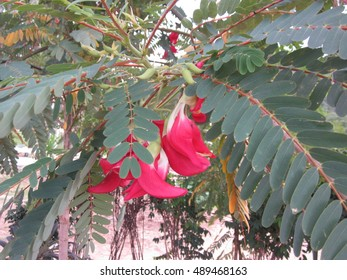 Red Agasta flowers.