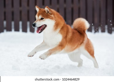 red Akita inu dog playing in the snow