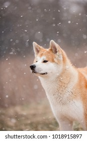 Red Akita Inu at snowing day