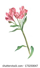 red alstroemeria watercolour drawing on white (isolated)