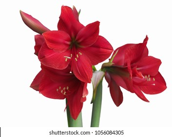 Red amaryllis flower blooming,isolated with clipping path