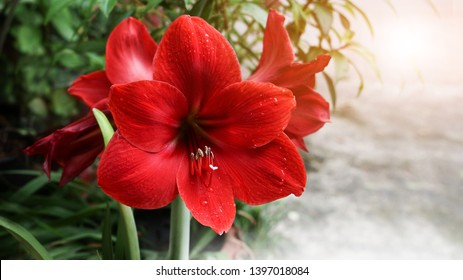 Red Amaryllis flower blooms in garden with morning light ,soft focus