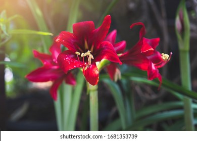 Red Amaryllis flower blooms in garden with morning light ,Red amaryllis flower blooming,Amaryllis,Hippeastrums flowers