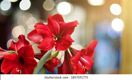 Red Amaryllis flower blooms with light bokeh background at night, Amaryllis, Hippeastrums flowers