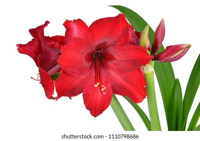 Red Amaryllis flower with green leaves isolated on white background.