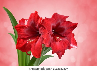 Red Amaryllis flower with green leaves.