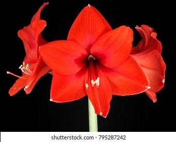 Red Amaryllis flower isolated against black background
