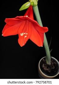 Red amaryllis flower isolated towards black