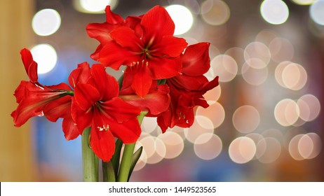 Red Amaryllis flowers with natural bokeh background