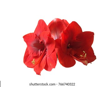Red amaryllis isolated with clipping path on white background
