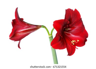 Red amaryllis isolated on white background
