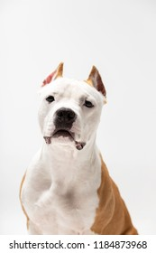 Red american staffordshire terrier with cropped ears sits indoor at white background