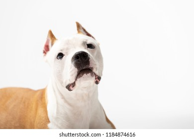 Red american staffordshire terrier with cropped ears sits indoor at white background - Shutterstock ID 1184874616