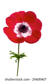 red anemone (wind-flower) isolated over white