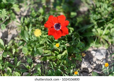 Red anemone and yellow flowers on a green grass at sunny spring day. Mediterranean beautiful spring.