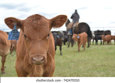 Red Angus Calf in the Branding Pen